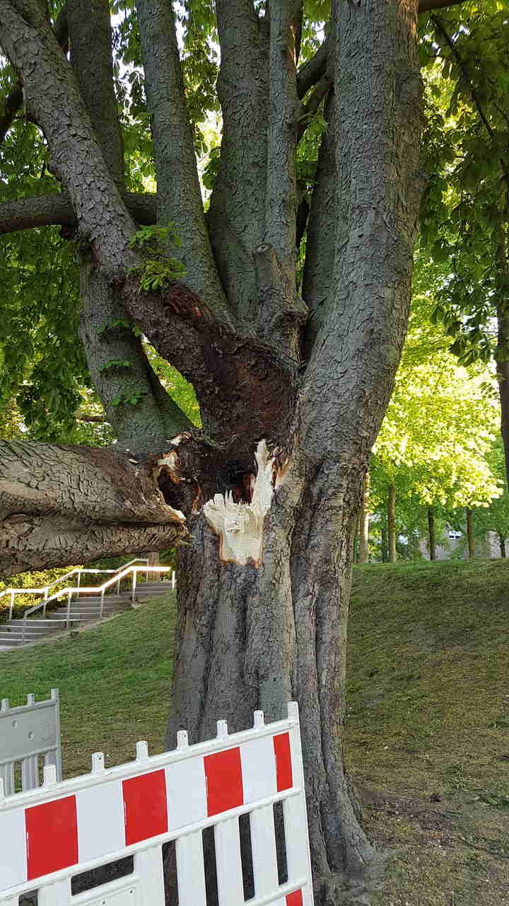 Sechs kranke Bäume im Schloss- und Freizeitpark müssen fallen